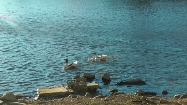 Geese In Dispute At The Lake