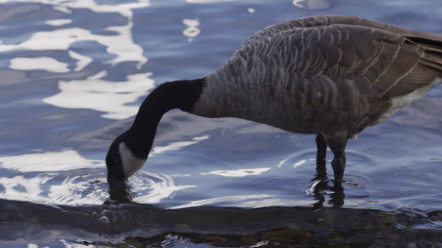 Geese in river video
