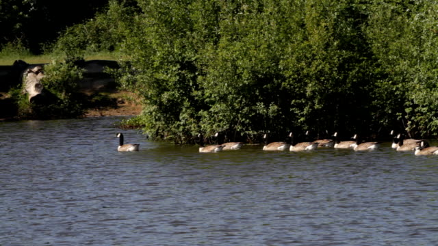Fifteen geese form floating gaggle HD video video