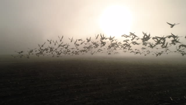 Geese Taking Flight in Farm Field Low Fog Aerial