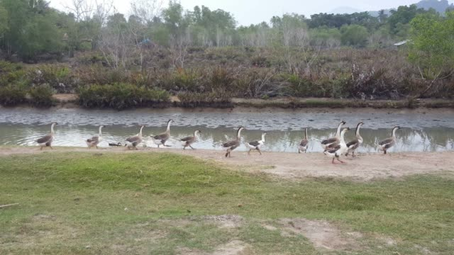 Geese walk and then swim.