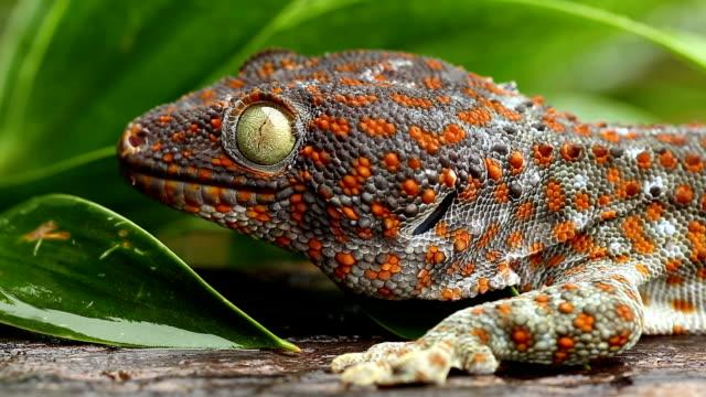 Gekko Gecko Gekko Gecko, close up of animal filmed in full HD with tripod gecko stock videos & royalty-free footage