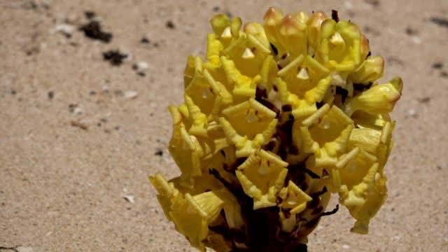 gelbe cistanche, cystanche phelypaea, fuerteventura, 4k - endemisch stock-videos und b-roll-filmmaterial