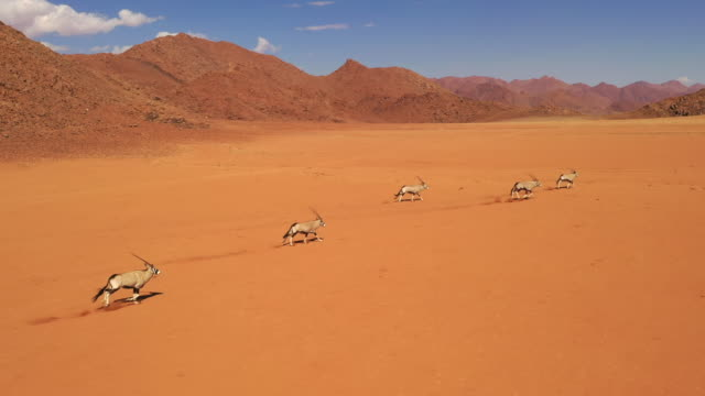 WS Gemsbok running in sunny desert, Namibia, Africa Gemsbok running in sunny desert, Namibia, Africa. Tracking Shot, Real Time. namibia stock videos & royalty-free footage
