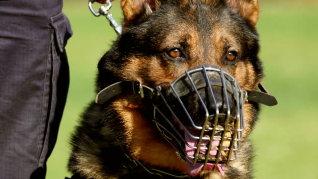 vídeos y material grabado en eventos de stock de retrato de perro de gendarmería - training