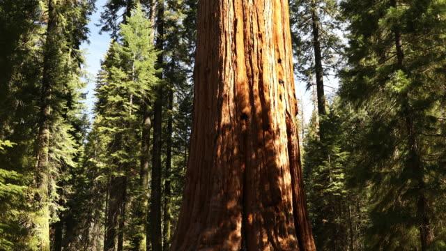 General Sherman tree in Sequoia National Park California USA video