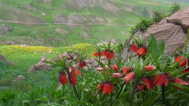 allgemeine ansicht der umgekehrten tulpe bekannt als das pflanzensymbol der traurigkeit in kato berg von hakkari stadt wächst türkei, reverse tulpenzwiebel gehört zur familie der pflanzen.  hakkari/türkei 05.03.2014 - endemisch stock-videos und b-roll-filmmaterial