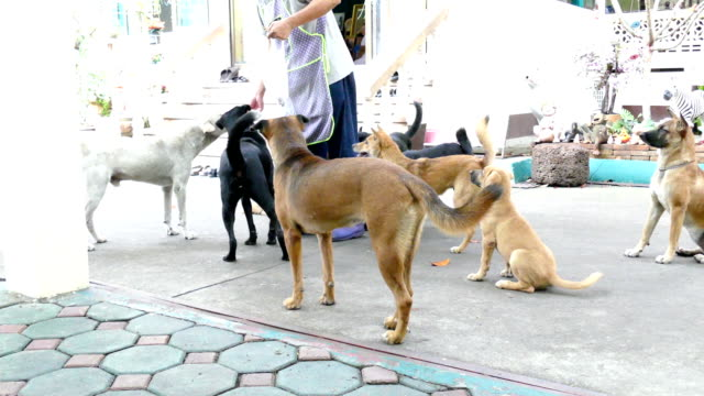 generous man feed roasted pork to many hungry dog video