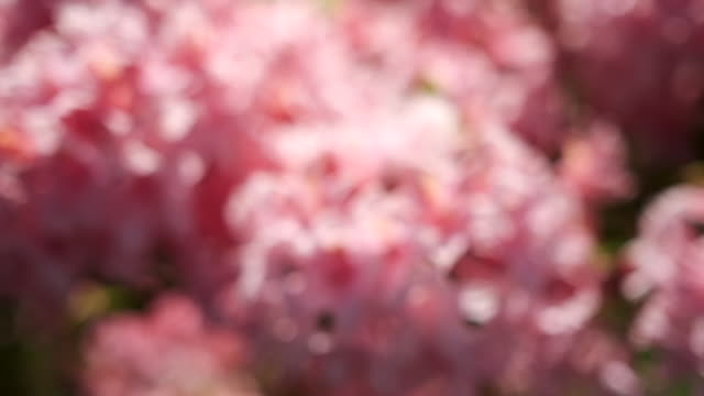 gentle 5 X slow motion movement over pink flowers, shallow focus. video