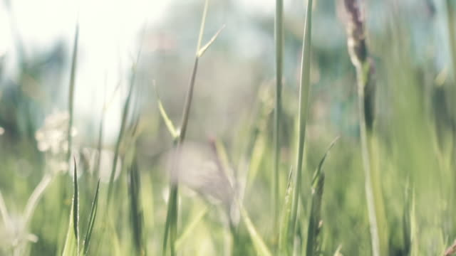 gentle hand held slow motion through long meadow grasses, backlit in summer sunshine. video
