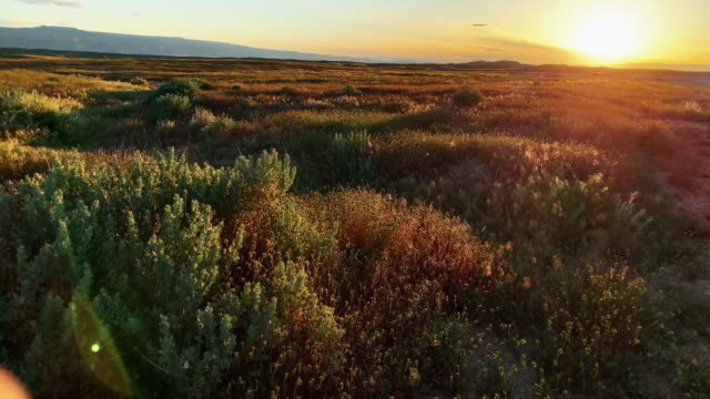 a gentle wind blows through bushes and grasses in a high desert landscape in western colorado at sunset - krzew filmów i materiałów b-roll