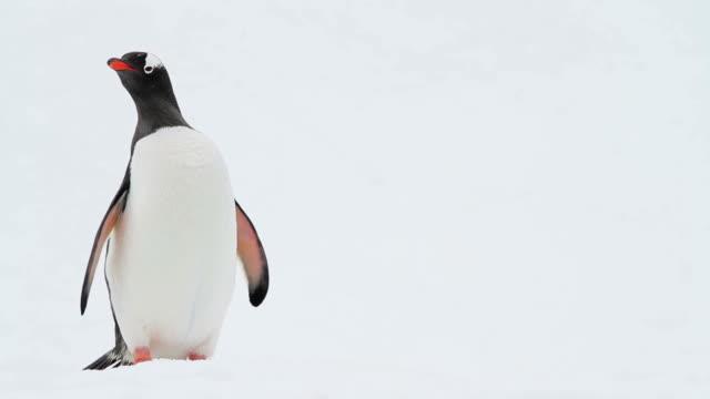 Penguin stock videos