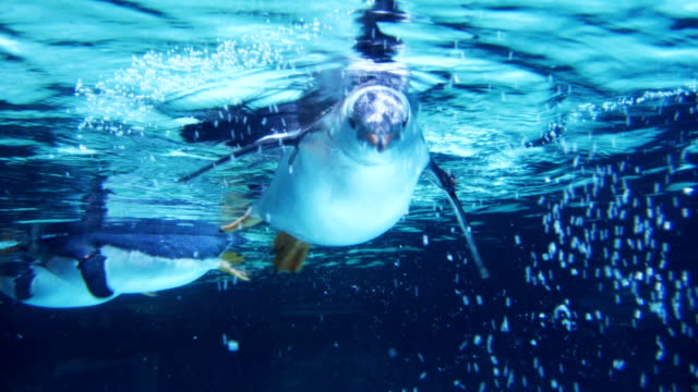stockvideo's en b-roll-footage met ezelspinguïn - pinguins swimming