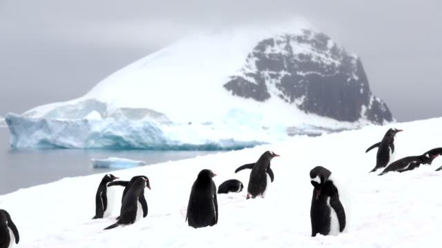 gentoo penguins preen walk danco island mountain glaciers antarctica gerlache strait - pingwin filmów i materiałów b-roll