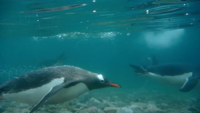 gentoo penguins swim cold neko harbor waters andvord bay antarctica - pingwin filmów i materiałów b-roll