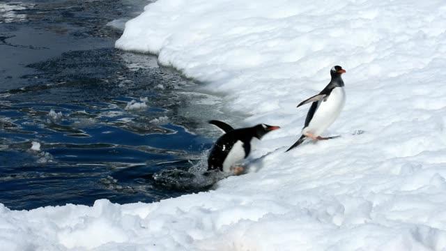 gentoo penguins - pingwin filmów i materiałów b-roll