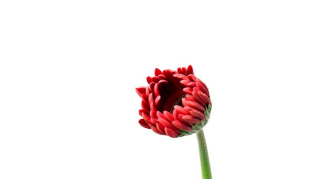 Gerbera Daisy Blooming in Timelapse
