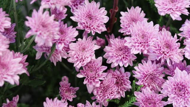 Gerbera Daisy Flowers in spring video