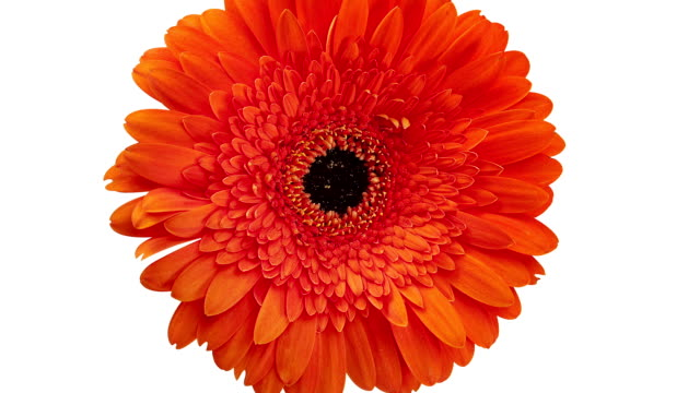 Gerbera Daisy Orange video
