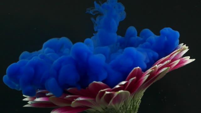 vídeos de stock e filmes b-roll de gerbera flower and blue ink underwater - matéria corante