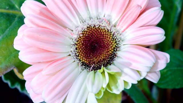 Gerbera flower blooming time lapse video