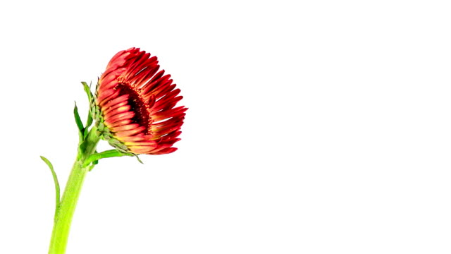 Gerbera flower booming and rotate, time lapse video