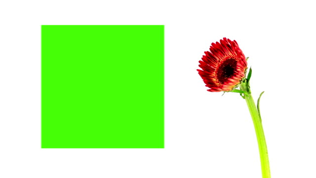 Gerbera flower booming with green screen, time lapse