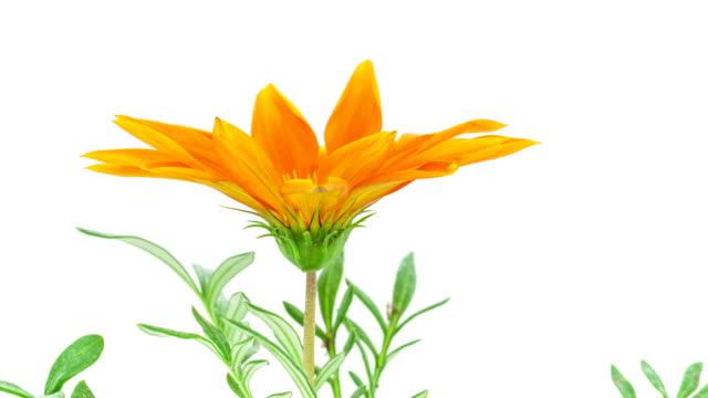 Gerbera flower growing timelapse video