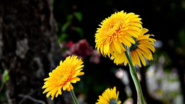 Gerbera flower video