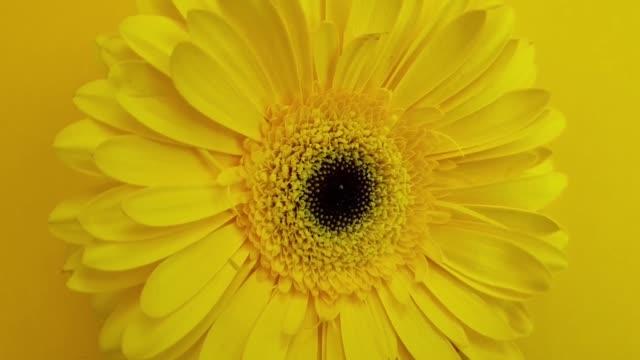 gerbera yellow flower is spinning
