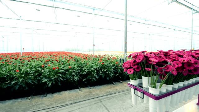 gerberas in greenhouse video