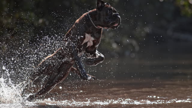 SLO MO TS German boxer fetching in the water