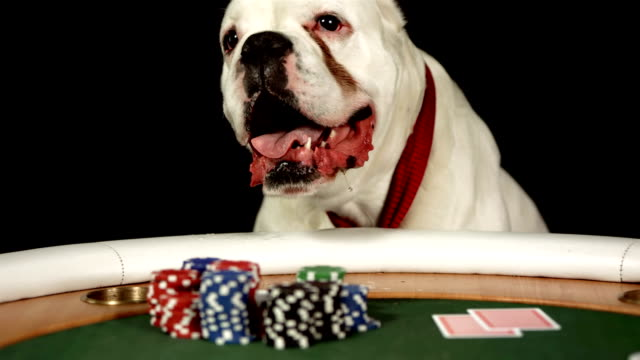 HD DOLLY: German Boxer Playing Poker video
