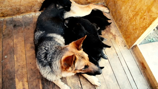 German Shepherd Dog and puppies suck milk Dog German Shepherd and many puppies suck her milk videos of dogs mating stock videos & royalty-free footage