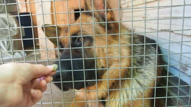 german shepherd in a cage, a woman's hand feeds the dog through the bars of the door. - mandriano video stock e b–roll