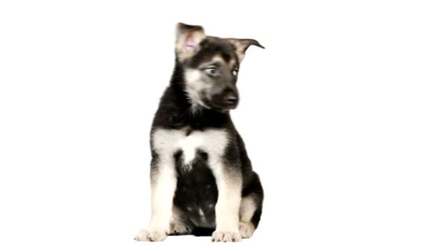 vídeos de stock e filmes b-roll de cão pastor alemão cachorrinho sentado - simplicidade