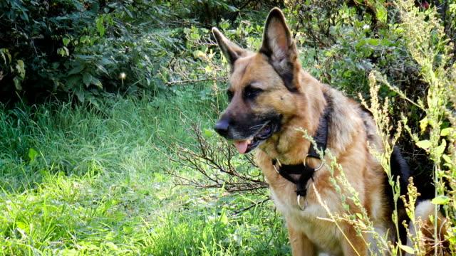 german shepherd - mandriano video stock e b–roll