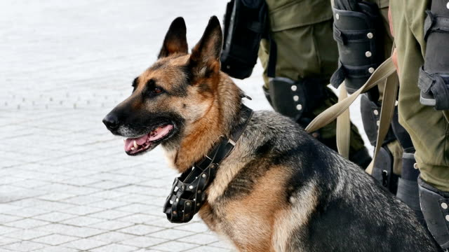 german shepherd with the military provides security on the site of public events. closeup - настороженность стоковые видео и кадры b-roll