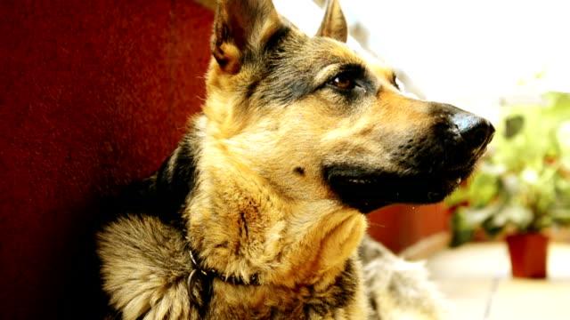 tyska sheppard vilar - hunddjur bildbanksvideor och videomaterial från bakom kulisserna