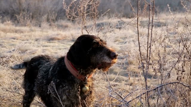 German wirehaired pointer,close up German wirehaired pointer,close up purebred dog stock videos & royalty-free footage