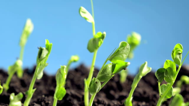 germinating peas germinating plants, Time Lapse crop plant stock videos & royalty-free footage