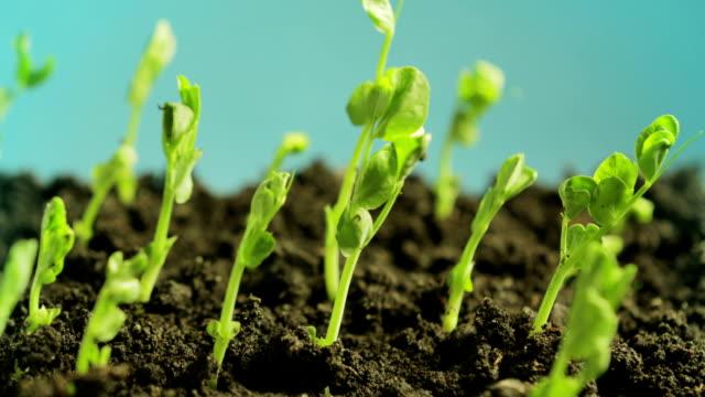 germinating peas - pea sprouts bildbanksvideor och videomaterial från bakom kulisserna