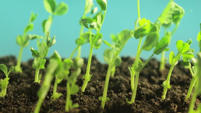 germinating peas video