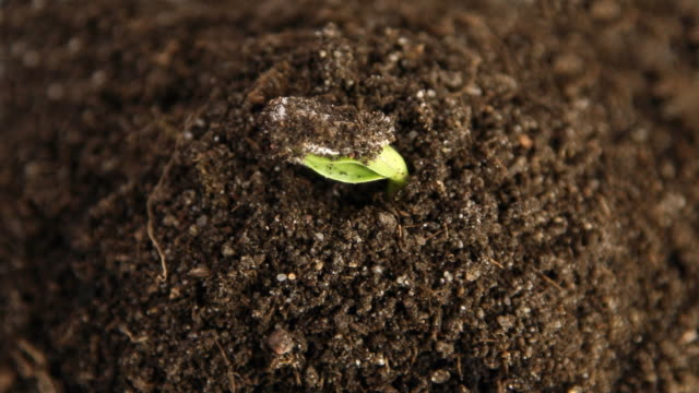 germinating plants, time lapse video