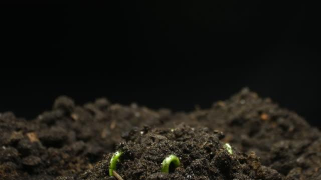 地上農業春夏植物タイムラプスで成長する発芽種子 - 苗点の映像素材/bロール