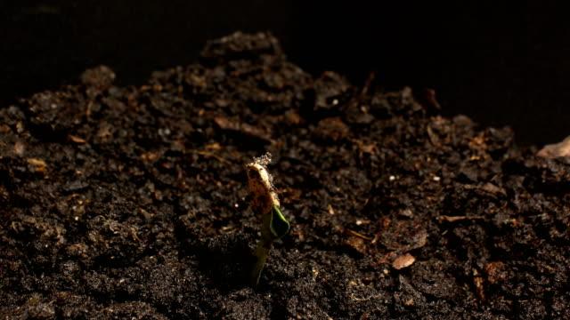 地面農業春夏タイムラプスで成長して種子の発芽 - 苗点の映像素材/bロール