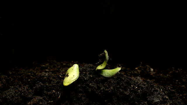 germinating seed growing in ground agriculture spring summer timelapse - organizm żywy filmów i materiałów b-roll
