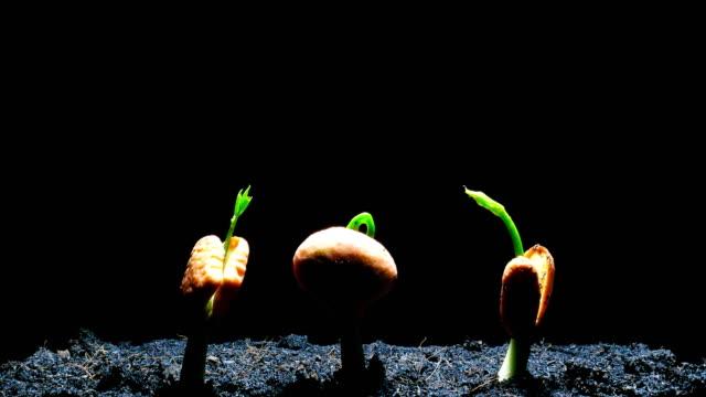 groende frö tid förflutit svart bakgrund - böngrodd bildbanksvideor och videomaterial från bakom kulisserna