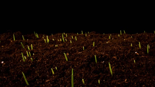 germinating sprouts of wheat. - grass stock videos & royalty-free footage