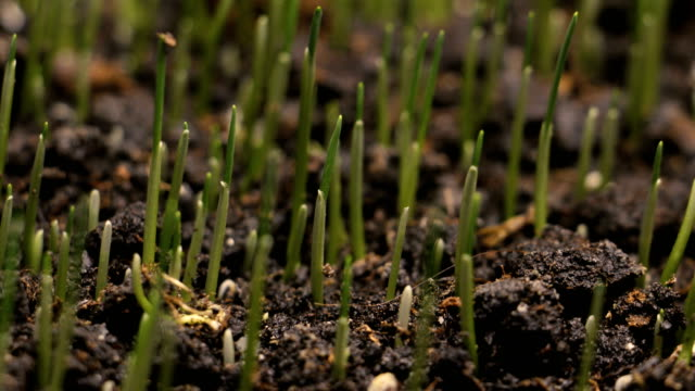 germinating wheat seed growing in ground agriculture spring summer timelapse - plants stock videos & royalty-free footage